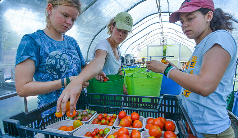 Sarah Pillard, Julia Fleming-Dresser, and Sophie Lieberman package picked tomatoes at the farm.