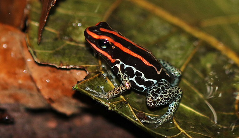 A species of the poison dart frog family (Dendrobatidae).