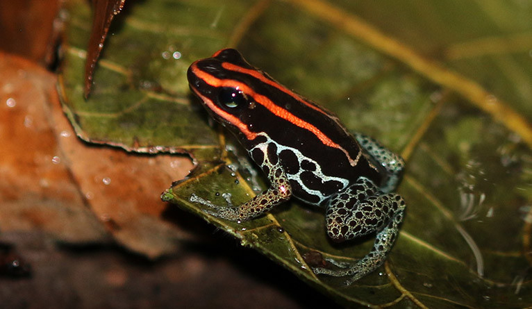 A species of the poison dart frog family (Dendrobatidae)