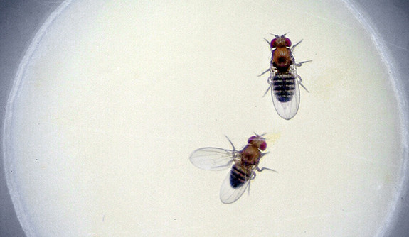 A photo of two fruit flies.