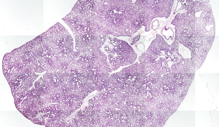 A section of of engineered rat lung from the study