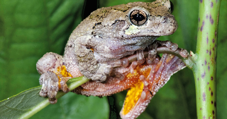 Peabody Recruiting Citizen Scientists For Frogwatch Yalenews