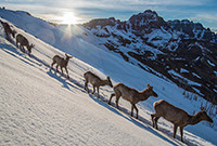 A group of elks descending a snowy mountain in Yellowstone National Park.