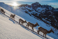 Elks descending a snowy mountain in Yellowstone National Park.
