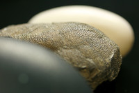 From front to back: an emu egg, a eumaniraptoran theropod egg, and a crocodile egg