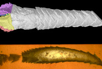 Section through a specimen of Heropyrgu, an echinoderm.