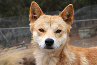 Photo of a dingo.