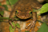 The Manaus slender-legged tree frog (Osteocephalus taurinus), a nocturnal species in South America.