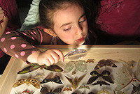 A young girl using a magnifying glass to inspect a display of butterflies.