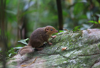 A treeshrew in a forest in Vietnam.