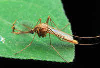 A mosquito resting on a leaf.
