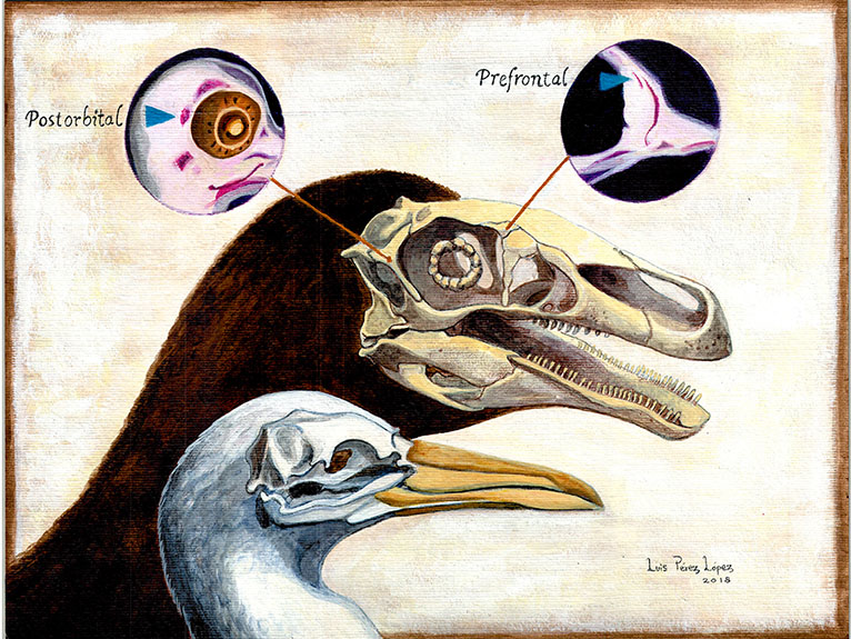 An illustration of a dinosaur skull highlighting the postorbital and prefrontal bones around the eye, compared to a bird skull without.